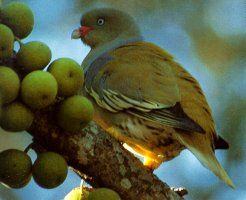 Green Pigeon Duncan Butchart.