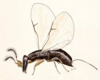 Fig_wasps