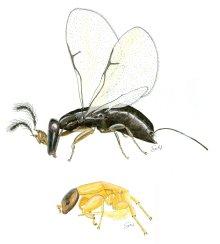 Fig Wasp: Agaonidae