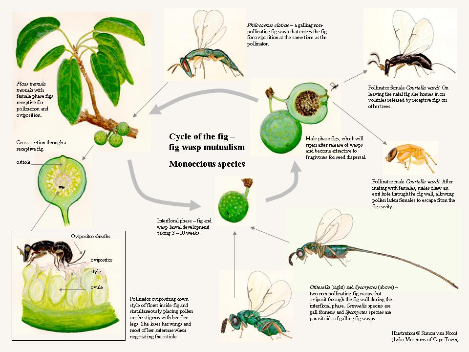 Life Cycle of the Fig and Fig Wasp Mutualism