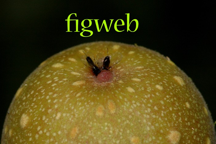Bioinformatics resource for figs and fig wasps of the world